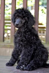 Bill - #1 BMI pup